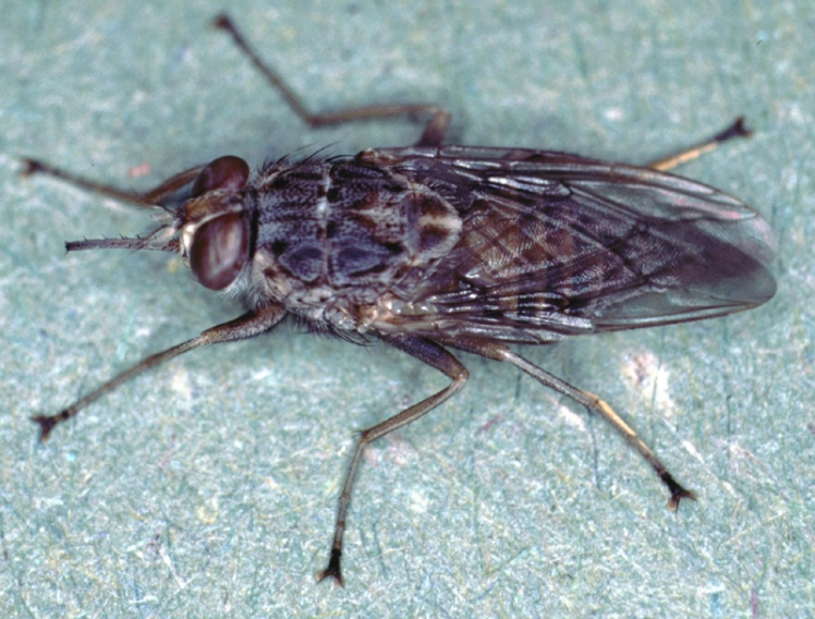 Glossina-morsitans-adult-tsetse-fly-2